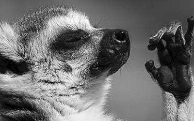 A lemur looking zen