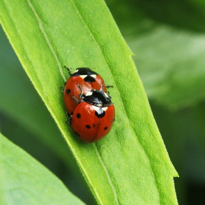One ladybird on top of another, on a leaf