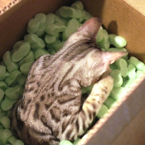 A cat in a cardboard box of packing peanuts