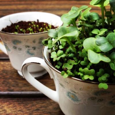 Growing Itty Bitty Microgreens