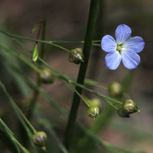 A dainty blue-purple Australian indigenous flower