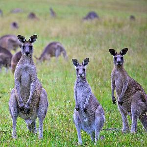 A mob of kangaroos with three stood up, looking at the camera