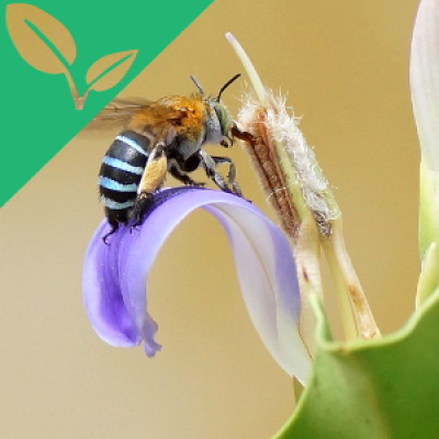 The Buzz About Native Bees
