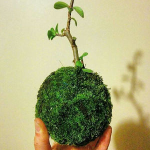 A kokedama - a mossy globe with a bonsai-like plant growing from it