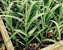 Garlic plants in the ground