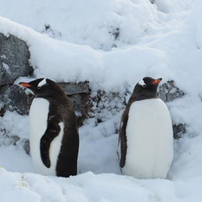 Two gentoo penguins huddled in the snow