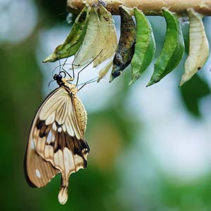 A butterfly on a cocoon