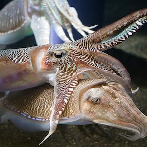 Cuttlefish in an aquarium