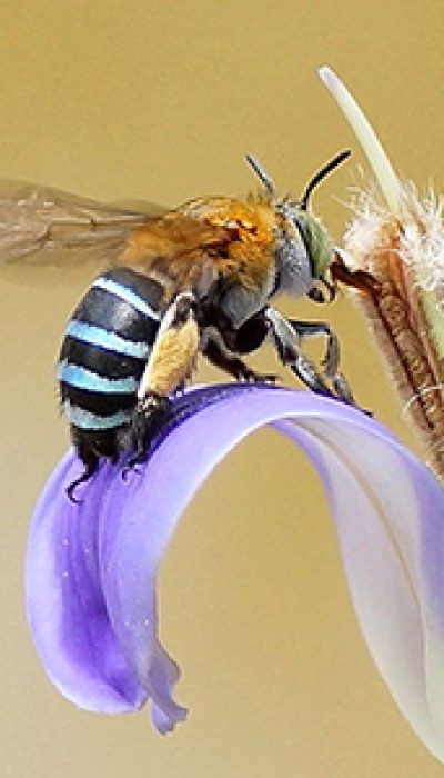 Bee a Pollinator! Native bees with Katrina ONLINE